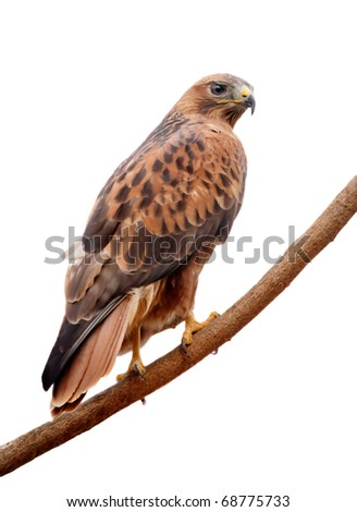 Long-legged Buzzard - stock photo