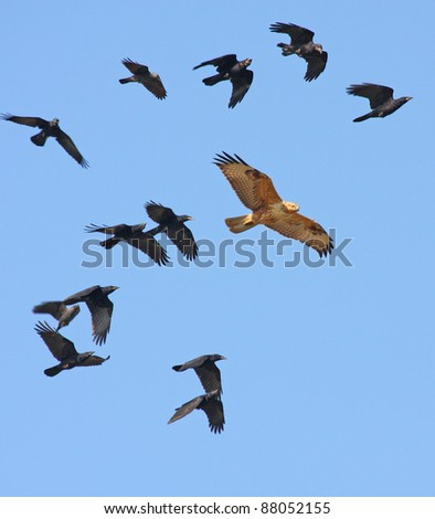 Long-legged Buzzard ( Buteo rufinus ) with a flock of rooks - stock photo