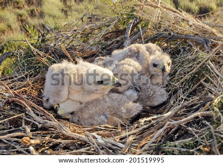 Long legged Buzzard young chick in the nest. The rare bird Buteo rufinus of prey protected species  - stock photo