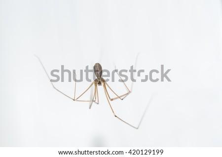 Long legged spider pholcus phalangioides - stock photo