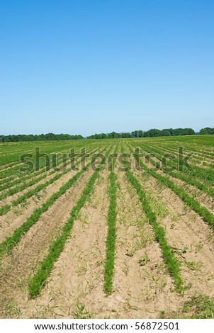 Long lines in the field with growing parsley