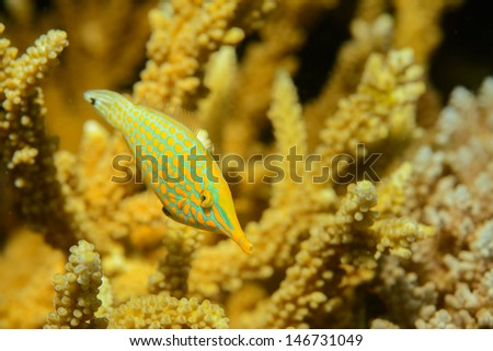 Long-Nose Filefish, fiji - stock photo