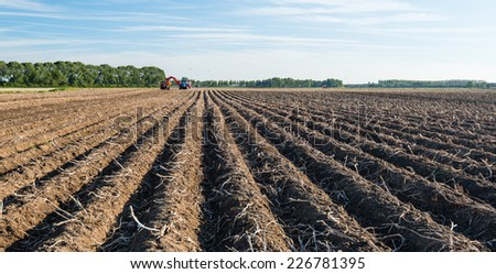 Long ridges with dead potato tops in the autumn season. In the background the potatoes are now harvested mechanically. Many seagulls are nearby to look for their food in the loosened earth. - stock photo