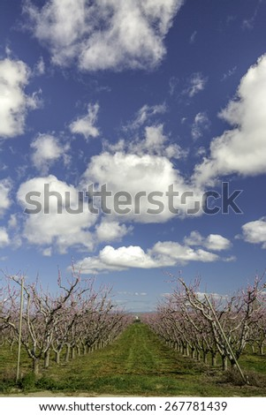Long row of blooming trees in a peach orchard Idaho - stock photo