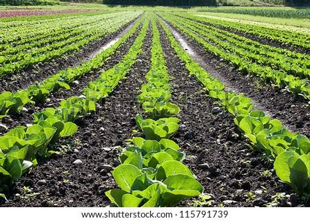 Long rows of green loose leaf lettuce / Lettuce Field - stock photo