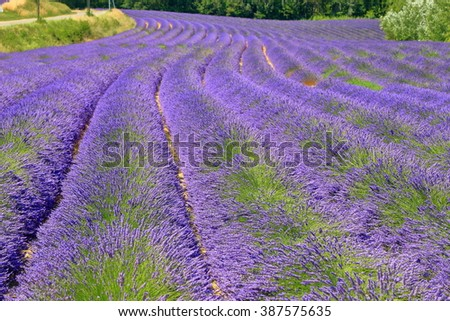 Long rows of mauve lavender on a field in Provence, France - stock photo