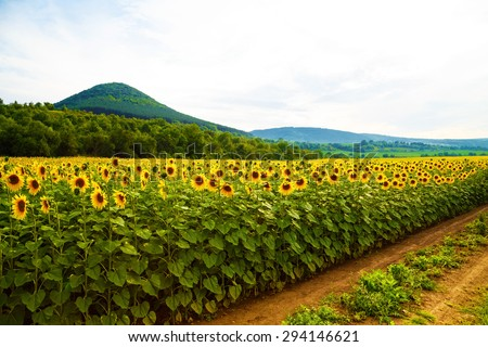 Long rows of sunflower plant crops under the sky with soft rolling hills in the background - stock photo