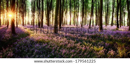Long shadows in bluebell woods at sunrise - stock photo