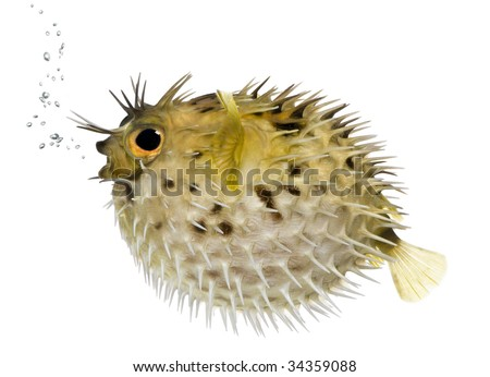 Long-spine porcupinefish also know as spiny balloonfish (fish)- Diodon holocanthus in front of a white background - stock photo