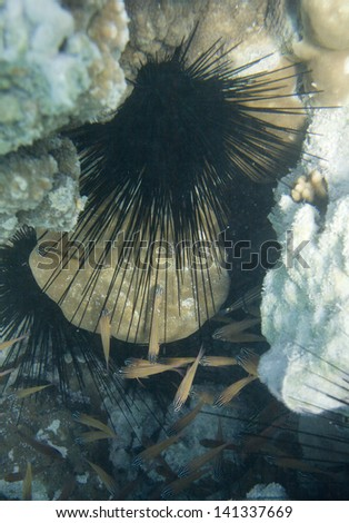 Long spine sea urchin. Diadema setosum. Underwater life of Red sea in Egypt. Saltwater fishes and coral colony reef. Sunlight in deep blue water on a seabed - stock photo