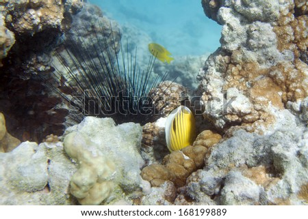 Long spine sea urchin. Diadema setosum. Underwater life of Red sea in Egypt. Saltwater fishes and coral colony reef. Sunlight in deep blue water - stock photo