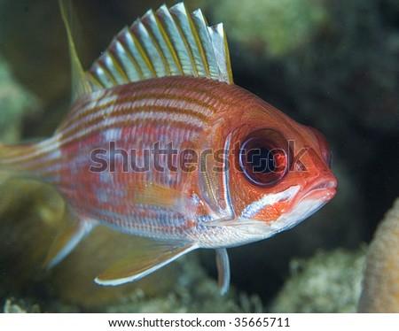 Squirrel fish stock photos royalty free images vectors for Big eye squirrel fish