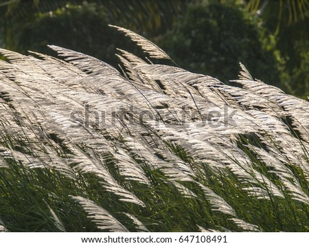 Long stems of backlit grass blow in the wind in eastern Thailand