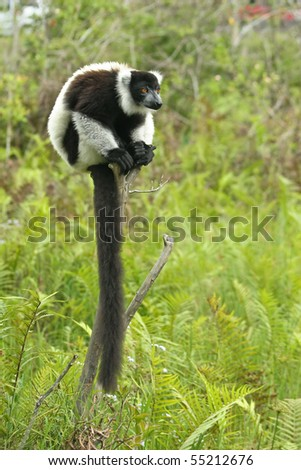 Long tail Lemur taken from Madagascar - stock photo
