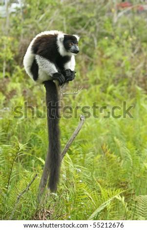 Long tail Lemur taken from Madagascar - stock photo