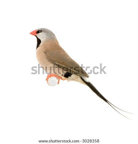 Long-tailed Finch in front of a white background