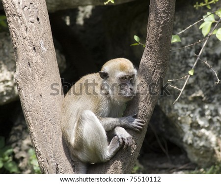 Long-tailed Macague monkey - stock photo
