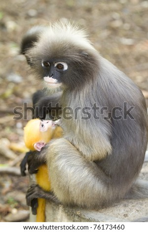 Long-tailed macaque feeds a cub - stock photo