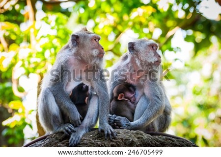 Long-tailed macaque monkies breastfeeding their babies - stock photo