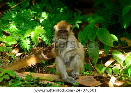 Long-tailed macaque, Penang, Malaysia. Macaques are running free all over the island. - stock photo