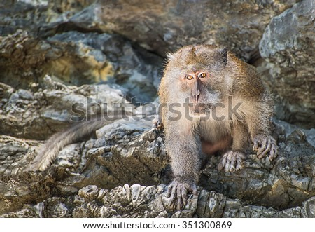 Long-tailed monkey animal portrait on the rock of Thailand island, horizontal natural background or symbol of the Year by Chinese calendar - stock photo