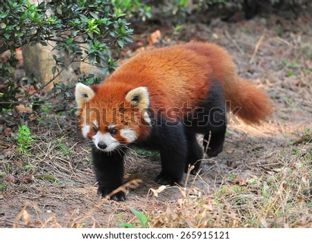 Long tailed red panda bear - stock photo