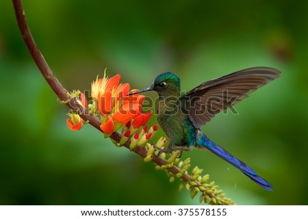 Long-tailed Sylph, Aglaiocercus kingi, rare hummingbird from Colombia, gree-blue bird flying next to beautiful orange flower, action feeding scene in tropical forest, animal in the nature habitat - stock photo
