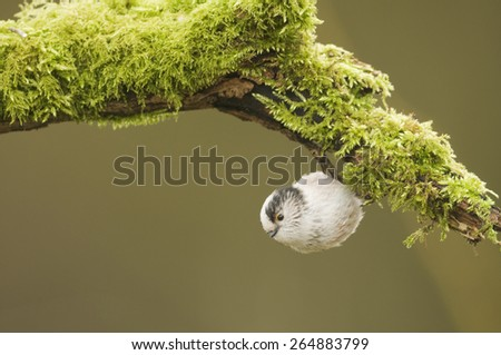 Long Tailed Tit (Aegithalos caudatus) hanging from a log covered in moss