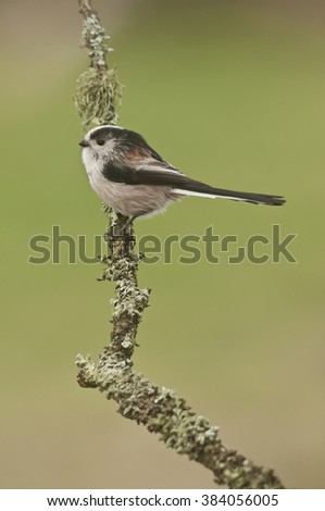 Long Tailed Tit (Aegithalos caudatus) perched on branch covered in lichen