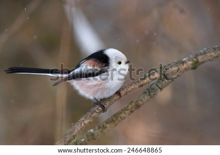 Long tailed tit on the branch