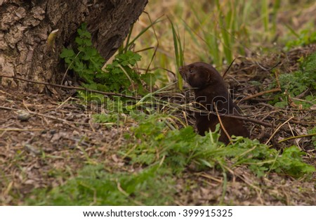 Long tailed Weasel hiding in tall grass