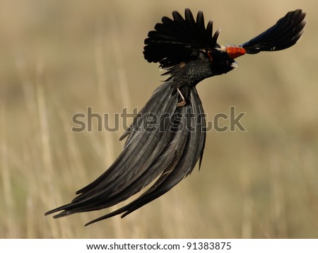 Long-tailed Widowbird (Euplectes progne) male in display flight,South Africa. - stock photo