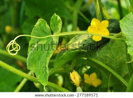 long tendril of cucumber and its flower - stock photo