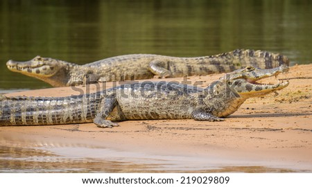 Long view of 2 Yacare Caiman (focus on nearest one) over sand with open jaws, Pantanal, Brazil - stock photo