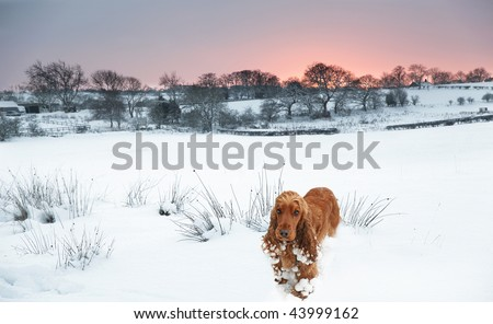 long way from Home, lost Cocker Spaniel in the deep Snow as the Sunsets - stock photo