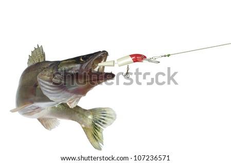 long zander and bait on white background - stock photo