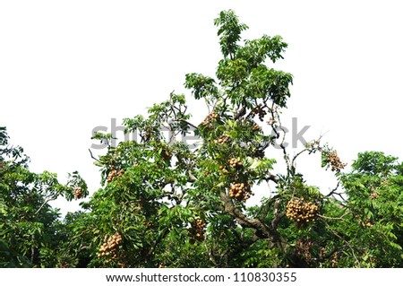 Longan on the green tree - stock photo