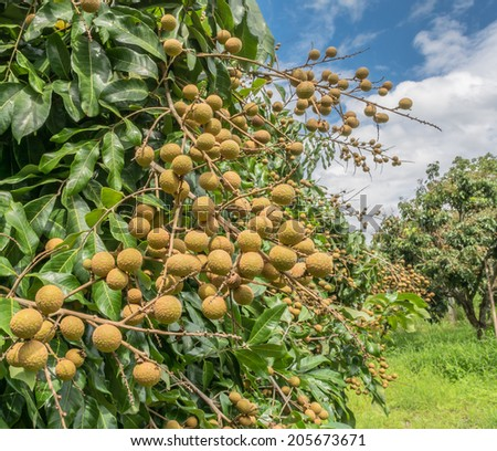 Longan on the green tree with blue sky - stock photo