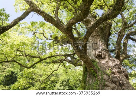 Longevity large camphor tree with bough in front of green forest - stock photo