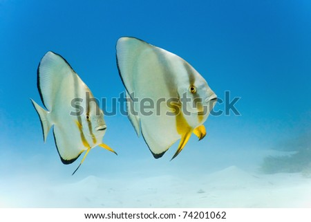 Longfin batfish from red sea - stock photo
