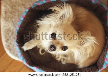 Longhair chihuahua curled up in a ball on her bed, looking at camera