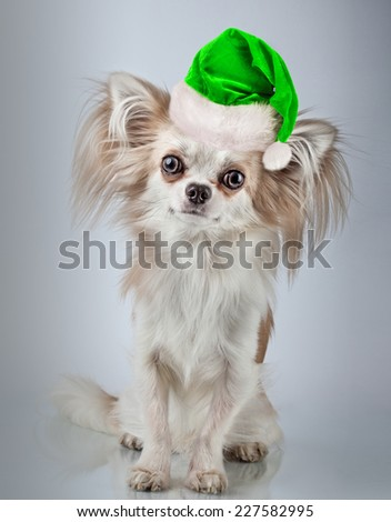 Longhair chihuahua  in Christmas Santa hat. Small dog sitting, looking at the camera - stock photo