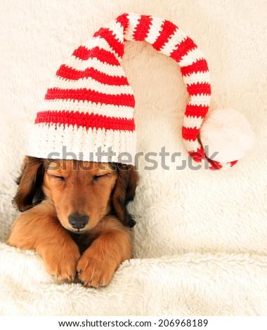 Longhair dachshund puppy asleep on a bed.  - stock photo