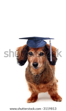 Longhair dachshund wearing a grad cap. Part of a series of holiday pictures featuring the same dog. - stock photo