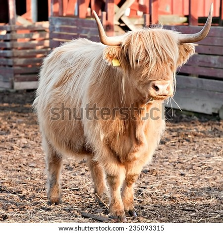 longhaired bull full-length view on animal farm background - stock photo