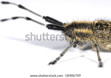 Longhorn beetle close-up isolated on white background