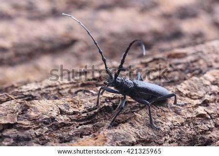 Longhorn beetle on tree. Macro - stock photo