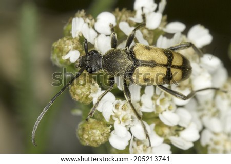 Longhorn beetle Pachytodes cerambyciformis in natural habitat - stock photo