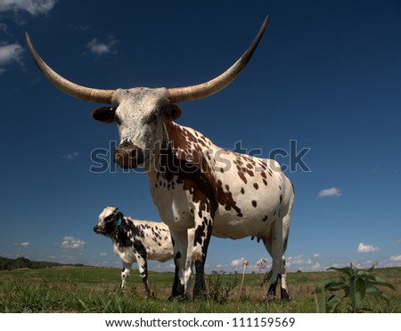 Longhorn cow and calf home on the range just west of Edmonton, Alberta Canada.  These animals are descendants of stock imported from Texas in the 1960s. - stock photo