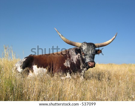 LongHorn resting in tall grass - stock photo